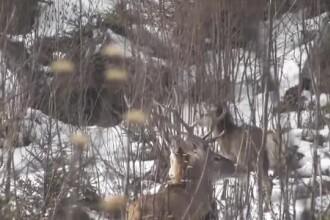 Filmare spectaculoasă cu cerbi şi o ciută, în Parcul Naţional Călimani