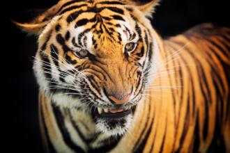 A supraviețuit miraculos după ce a fost atacată de un tigru. Cum a reușit să se salveze