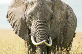 Britanică ucisă de un elefant în timp ce îşi plimba câinele. Animalul ar fi pândit-o