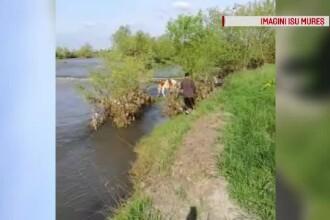Vacă salvată de pompieri, după ce a rămas blocată pe o insulă din râul Mureș