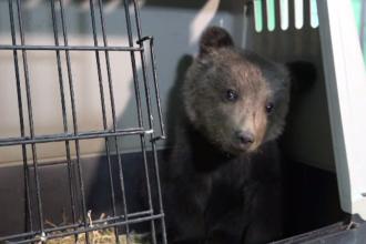 Ursuleț de 3 luni, salvat dintr-un pârâu de pe Valea Mureşului de un localnic