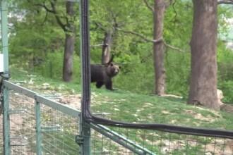 Ursoaica Anca, salvată după 20 de ani de calvar la zoo din Piatra Neamț
