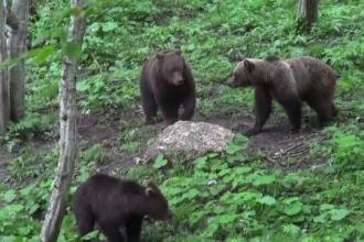Doi pui de urs, salvaţi de poliţişti în Covasna, după ce mama lor a fost lovită de tren