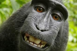 Sentință în cel mai bizar proces: cine are drepturile pe selfie-ul făcut de maimuța Naruto