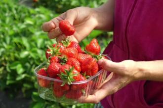 Veste proastă pentru căpșunarii români care pleacă în străinătate. Ce mașinărie vor să dezvolte fermierii britanici