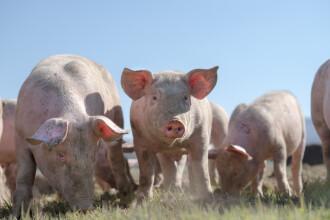 Alertă de pestă porcină africană în România. Zonele vizate de virus