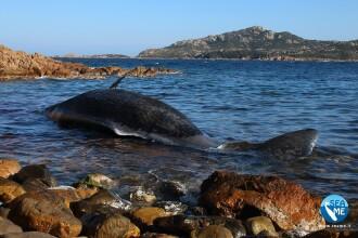Balenă gestantă, eșuată pe o plajă. Descoperirea făcută în stomacul ei