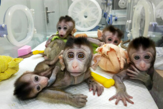 Chinezii au creat maimuțe modificate genetic. Ce au descoperit în creierul acestora