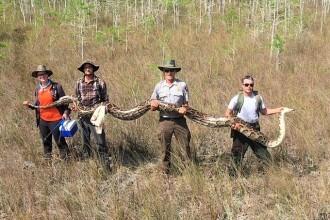 Un piton gigant a fost descoperit în Florida. Urma să depună 73 de ouă