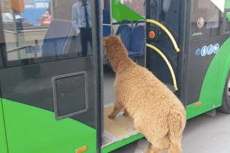 Ce riscă Marian Godină după ce și-a plimbat alpaca, pe nume Pablo, cu autobuzul. VIDEO