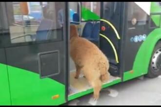 Godină explică cum a ajuns alpaca Pablo în autobuz și ce va face dacă va primi amendă