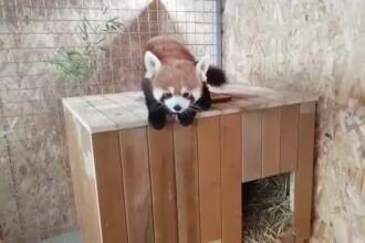 Primul exemplar de panda roșu din România. Are o cușcă de 100.000 de euro