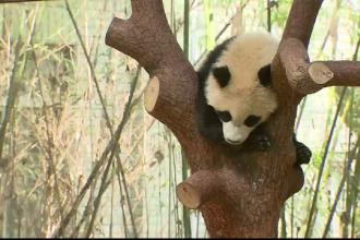 Motivul pentru care un panda uriaş refuză să se mişte. E păzit ca să nu cadă din copac