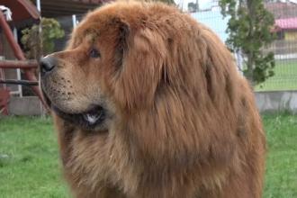 """Povestea lui """"Boss"""", cel mai frumos mastiff tibetan din lume. Trăiește în România"""