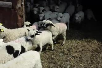 Pesta porcină afectează și mieii, la preț. Mai multe centre de sacrificare, închise