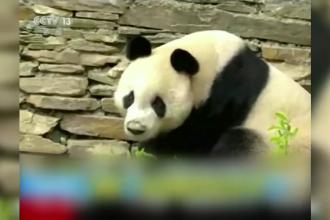 Nouă casă pentru un panda gigant, în vârstă de 20 de ani. Unde a ajuns Yuan Yuan