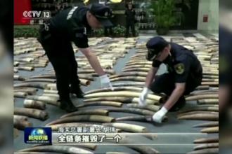 Captură impresionantă. Autorităţile chineze au confiscat peste 7 tone de fildeş