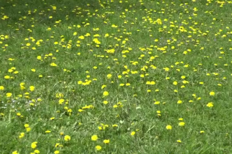 Planta care crește pe toate câmpiile și poate să vă aducă o afacere de zeci de mii de euro. Beneficiile ascunse