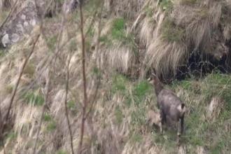 Imagini cu o capră neagră şi iedul ei, surprinse în Parcul Naţional Retezat. VIDEO