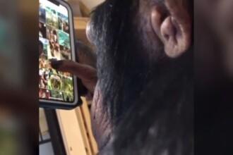 Cimpanzeul care adoră telefonul mobil. Ore întregi se uită pe Instagram. VIDEO