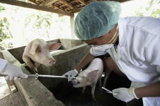 40 de județe din țară, afectate de pesta porcină africană. Sunt 525 de focare la nivel național
