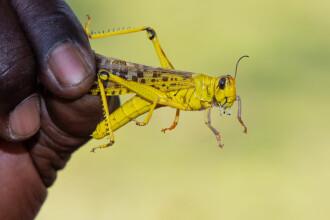 VIDEO terifiant. O țară se confruntă cu mai gravă invazie de lăcuste din ultimul deceniu