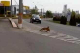 VIDEO. Vulpe prinsă la furat de găini în Baia Mare. Imagini inedite surprinse de poliție
