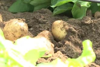 Cartofii noi vor ajunge în piețe. De ce kilogramul ar putea costa DUBLU faţă de supermarket