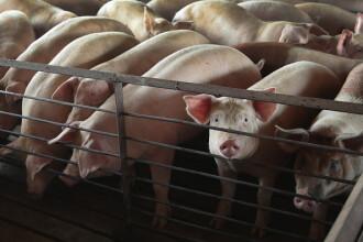 Animale gazate și eutanasiate în SUA. Fermierii apelează la măsuri extreme din cauza pandemiei de Covid-19
