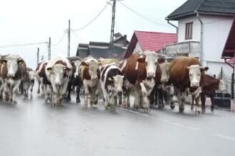 Un fermier din Maramureș a dus în fața primăriei toată cireada lui de vaci. De ce a protestat