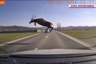 Un șofer din Bacău a evitat în ultima clipă un cerb care voia să traverseze o șosea