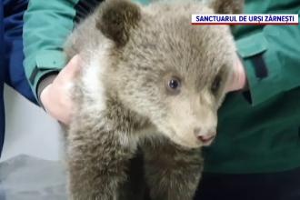 Explicația Ministerului Mediului, după ce un ONG care a salvat doi pui de urs a fost amendat cu 10.000 de lei