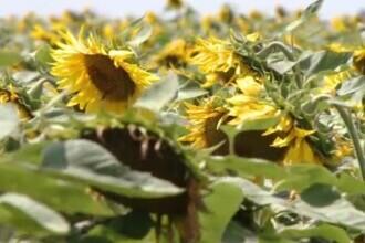România rămâne cel mai mare producător de semințe de floarea soarelui din Europa