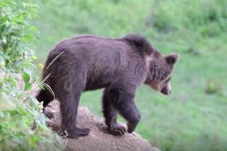 Un bărbat din Brașov este terorizat de un urs. Animalul îi atacă gospodăria aproape zilnic