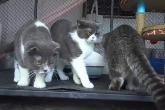 Pisici rare, scoase la licitație de poliţia antidrog din Thailanda. Cât a plătit o femeie pentru ele