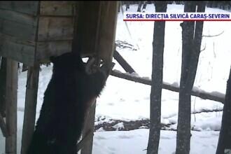 Urs filmat în timp ce fură un sac de porumb în pădurile din Caraș-Severin