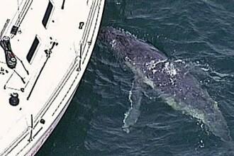 Sfarsit trist pentru puiul de balena care si-a confundat mama cu un iaht