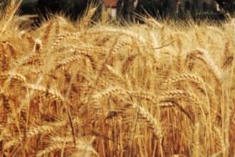 Penuria de grau, porumb si orez, principala cauza a scumpirii alimentelor