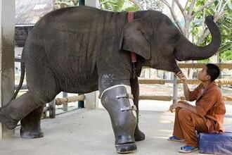 Mosha, femela elefant cu proteza la picior