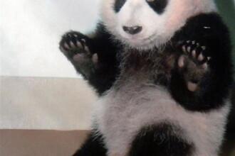 Zece ursi panda din Sichuan, pregatiti pentru calatoria vietii