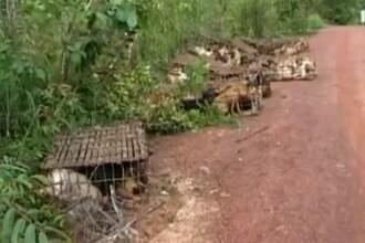Imagini greu de privit. Cum erau transportati 1.000 de caini care urmau sa ajunga friptura. VIDEO
