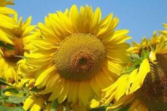 Vestile bune ale unei super-recolte la floarea soarelui. Pretul uleiului ar putea scadea si cu 20%