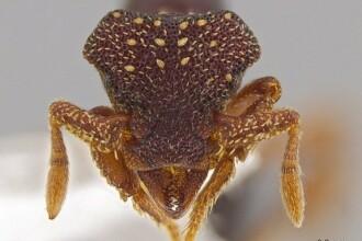 33 de specii noi de furnici descoperite in America Centrala. Sub microscop, arata ca un