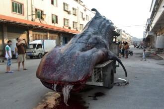 Un pescar din China a capturat un rechin balena de doua tone. Specia este una pe cale de disparitie