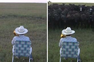Secretul fermierului care atrage toate vacile cu trombonul