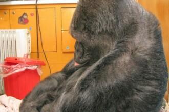 Moment emotionant. Ce a facut Koko, prietena gorila a lui Robin Williams, cand a aflat ca actorul a murit