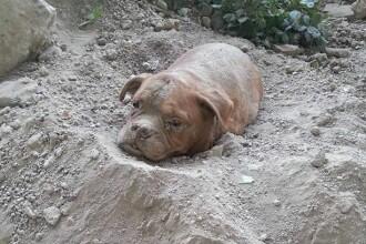 Imaginile care au provocat furie pe internet: caine gasit ingropat de viu, cu pietre legate de gat. Ce risca stapanul