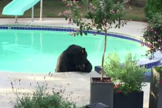 Toropit de caldura, un urs s-a relaxat in piscina unei case din Vancouver. Imaginile surprinse chiar de proprietari