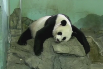 O femela panda de la ZOO din Washington a nascut doi pui. Momentul a fost transmis in direct pe internet