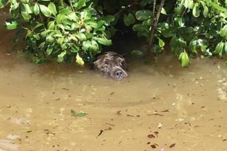 Imagine tulburatoare la inundatiile puternice din Louisiana. Un caine incearca sa reziste in apa care ii ajunge pana la nas